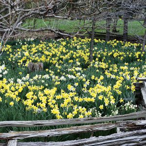A mature planting of daffodils, well cared for, is an unforgettable sight!