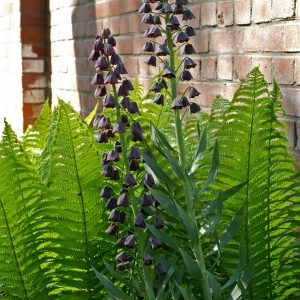 Bulbs fit very nicely among perennials and others. These fritillaries really show off among the hardy ferns!