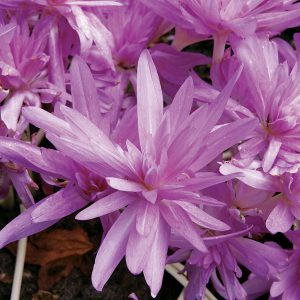 Safe from nibbling voles, moles, and gophers, Autumn Crocus is a fine choice for the bulb garden!