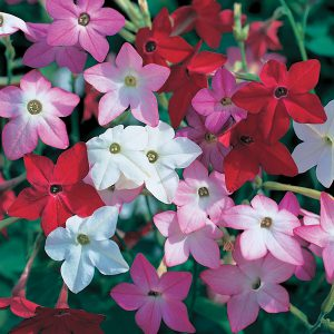 Nicotiana attracts night pollinators while perfuming the garden.