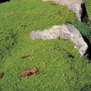 Groundcovers don't have to sweep across many feet of space. Pearlwort meanders just a couple of inches wide, filling in between rocks and stepping stones.
