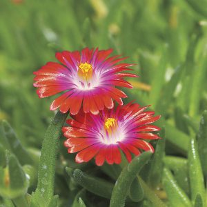 Iceplant is a fabulous choice for water-wise gardens in full sun. It actually prefers soil on the dry side.