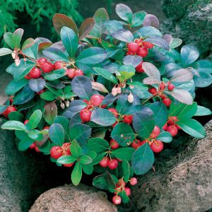 Wintergreen is a magnificent groundcover, offering the trifecta of fragrance, evergreen foliage, and bright berries. (Oh, and it blooms, too!)