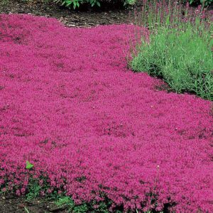 Creeping Thyme is a dazzling sight in late spring, and remains fragrant in every season.