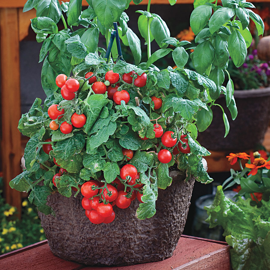 Sowing Tomato Seeds Indoors Official Blog Of Park Seed