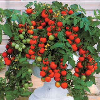 Maskotka is a flavorful cherry tomato for baskets and tall flowerpots.