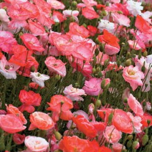 """""""In Flanders Fields the poppies blow / Between the crosses, row on row . . . """""""