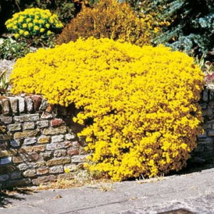 This Alyssum is like a Forsythia in sprawling groundcover form!