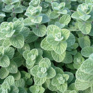 Zaatar isn't really a marjoram, but its blend of oregano, thyme, and marjoram aromas does a nice job of repelling pests!