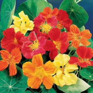 By attracting aphids away from the bean plants and onto its own foliage, nasturtium is a true friend.