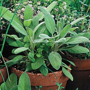 So wonderful in the garden elsewhere, Sage is a bit too overpowering for the delicate flavor of cucumbers.