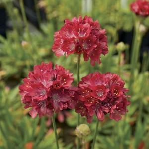 """You've heard this before, but """"if you add only one new perennial to the garden this year,"""" seriously consider Ballerina Red Thrift."""
