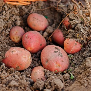 Together, potatoes and beans battle garden pests! And varieties like Sangre thrive even in smaller garden spaces.