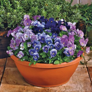 Such a rich source of blue, Viola goes anywhere in the garden!