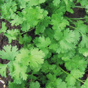 Coriander is the seed of this plant, and Cilantro is the fresh foliage. Beautiful, tasty, fragrant -- but no pal to the carrot!