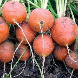 Atlas is a good carrot for first-year gardens, because it doesn't need the loose, wel-aerated soil of longer-rooted carrots.