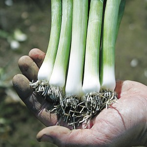 Zermatt is a leek from seed, great when harvested very young but also delicious if allowed to mature all season.