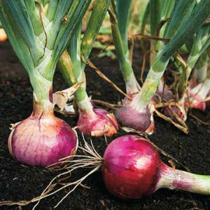 Most root vegetables compete with carrots, but onions are so beneficial that they deserve soil space among your Nantes and Candysnax!