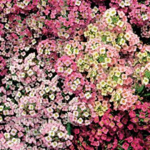 Blooming earlier than most other flowering plants, Sweet Alyssum gives you a head start on repelling pests in the veggie patch.