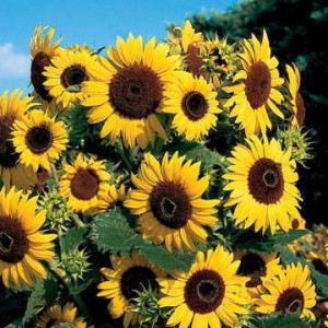 Tall, strong-stemmed, and large-flowered, sunflowers eat up a lot of soil nutrients!