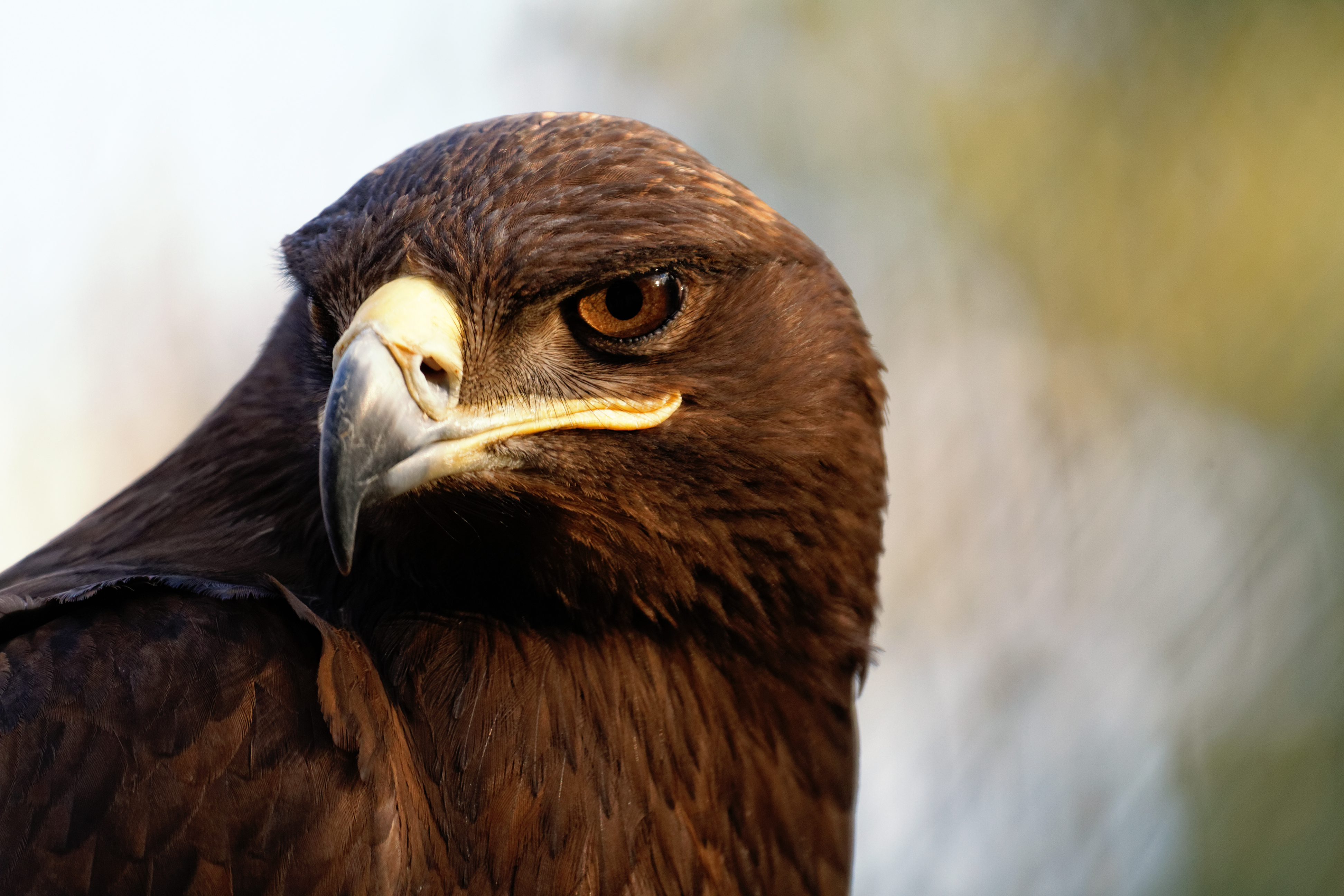 The Steppe Eagle is a bird of prey
