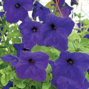 Great beauty and spectacular garden performance are demanded of any Park Exclusive flowering seed variety!