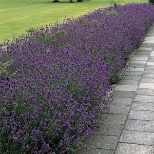 Shear lavender back fearlessly for even bushier growth next spring!