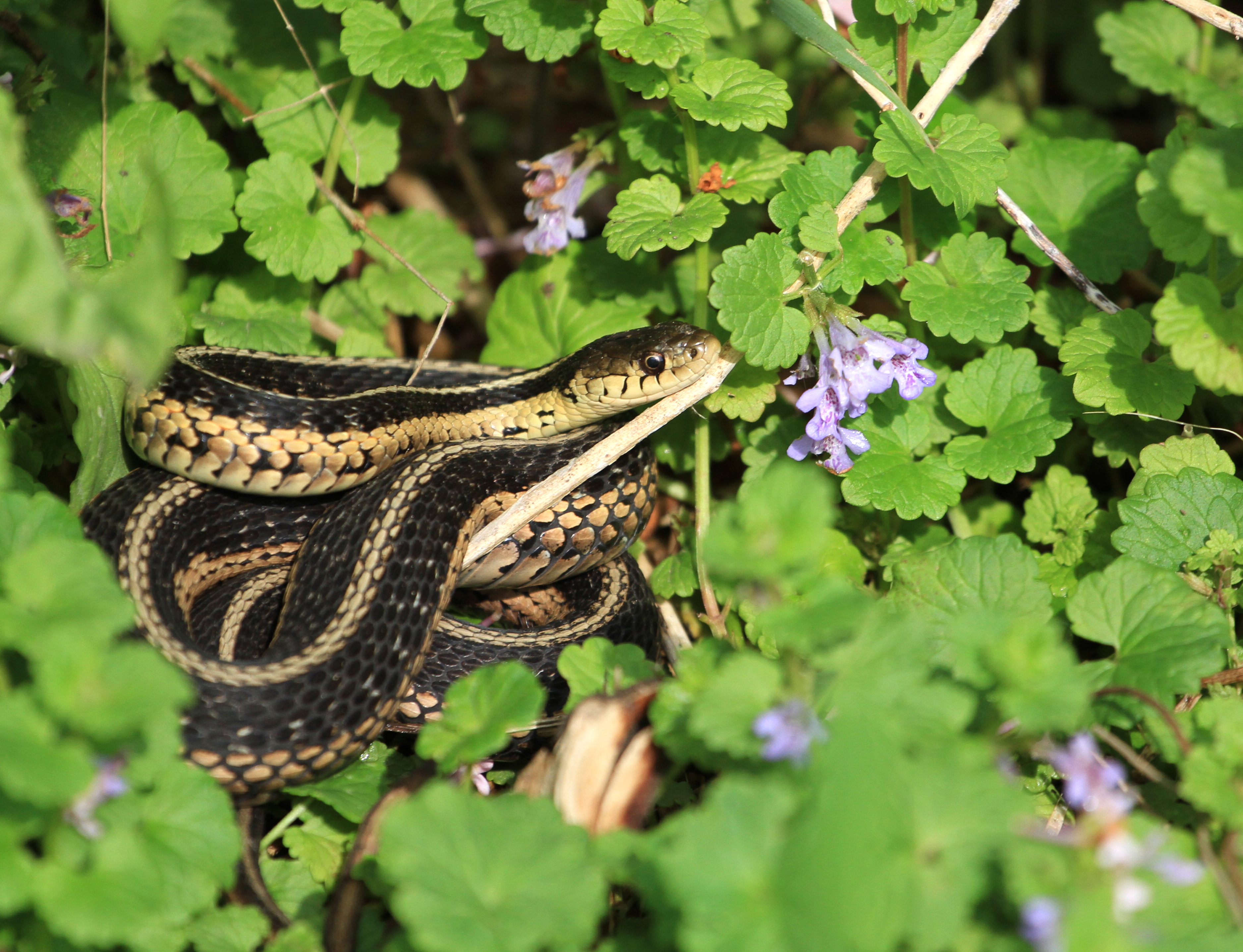 Eastern Garter Snake warming in morning sun