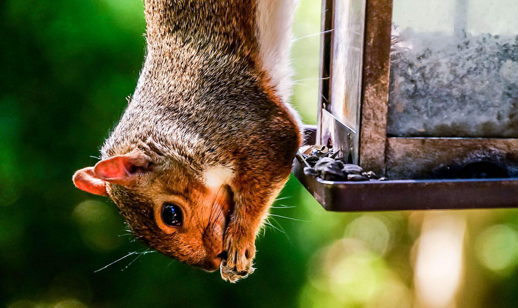 Squirrel hanging upside down on a bird feeder and eating bird seed