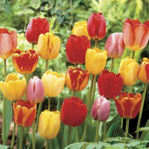 Add some new tulips as well as other spring-blooming bulbs to the garden this fall!