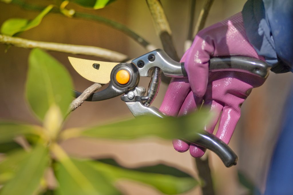 pruning shrubs in the spring with sharp pruners