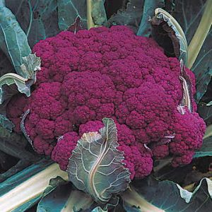 Cauliflower doesn't mind cold weather or even a touch of frost!