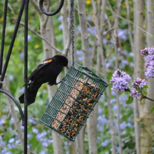 Protein-rich suet is a bird's best friend during the lean winter months.