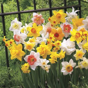 "Get your daffodil bulbs planted promptly, and if you live in a warm climate, dig a deeper-than-recommended hole so they get more ""chill time"" this winter!"