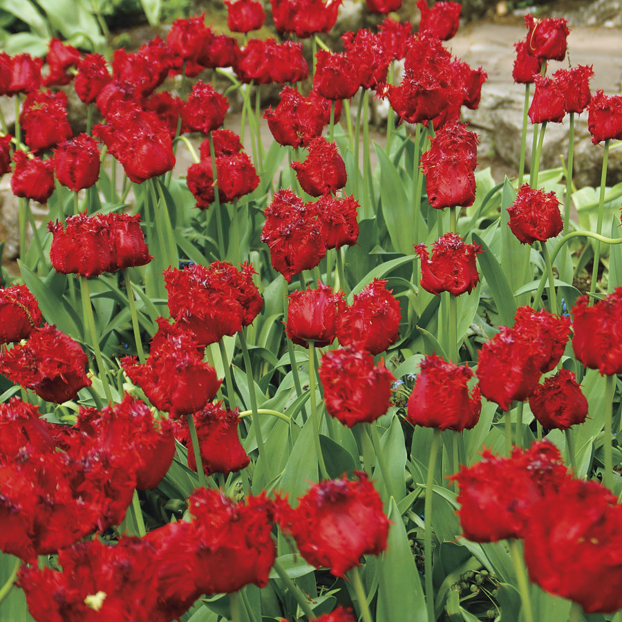 the history of tulip in europe Tulip (or tulipa) can be found in europe, africa and asia, but its native land is unknown some sources say it has come from central asia some sources say it has come from central asia it was the seljuk turks who introduced tulips to anatolia in 11th century.