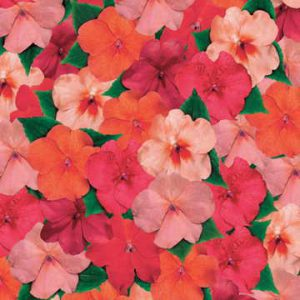 Known as Busy Lizzie in England, Impatiens walleriana makes a fine potted plant indoors. Available in every color, it blooms nonstop for months!