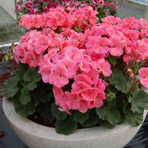 Any Pelargonium is suitable for indoor growing. Try the dimunitive Nano series in pots and the trailing types such as Summer Showers and Speedy for baskets.