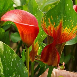 Calla grows along wet streambanks in the wild, so you know it loves constant moisture indoors!