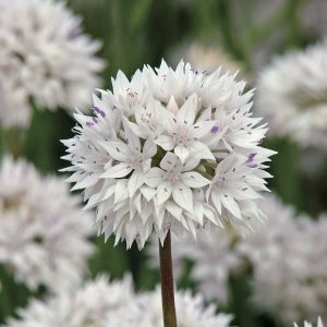 Allium is always a bargain, offering both fresh flowers and beautiful everlastings.