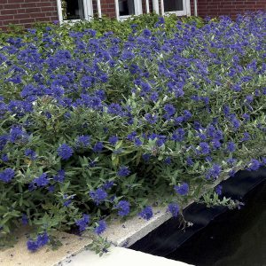 Blue Mist Shrub (Caryopteris) adds rare blue color to the garden!