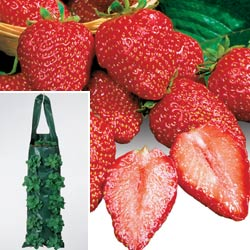 Try Park's Growin' Bags for the best hanging strawberry plants