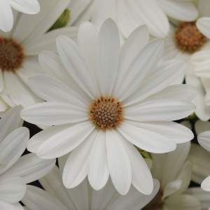 Available as seed, Akila Daisy White brightens all its neighbors with its gleaming petals!