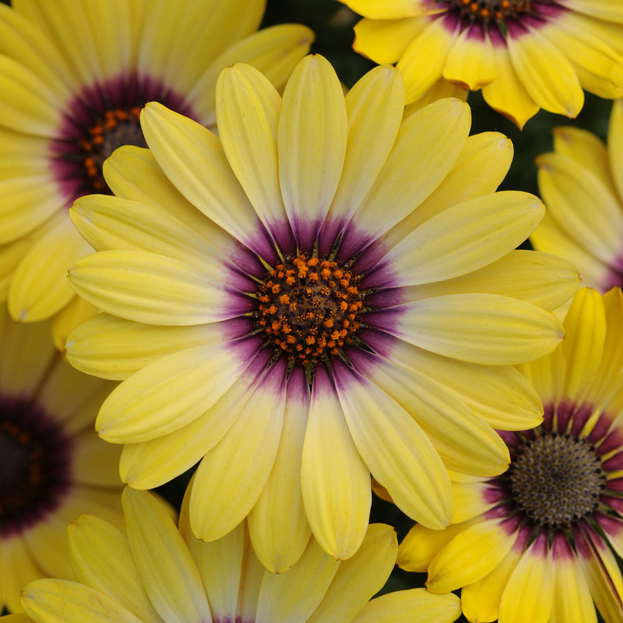 African daisies are a must grow official blog of park seed packed with petals around a lavender center blue eyed beauty is the perfect companion izmirmasajfo