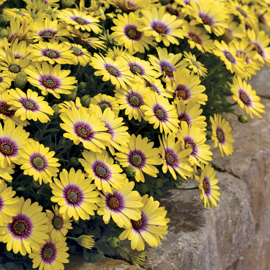 African Daisies Are A Must Grow Official Blog Of Park Seed