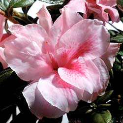 Encore Azalea Autumn Belle features showy semi-double pink blooms
