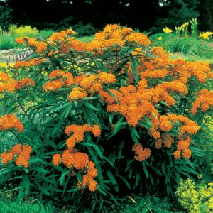 Butterfly Weed loves boggy soils. Its cousin Swamp Milkweed (Asclepias incarnata) would be an even thirstier choice!