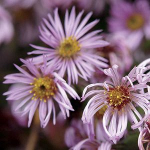 Most Asters love damp soil. This Carolina Climber grows quickly and beautifully with wet feet!