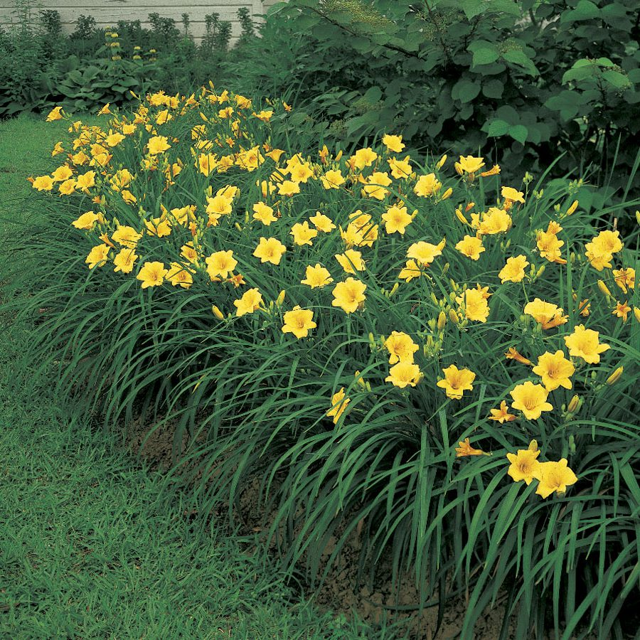 The Unique Bloom Habit Of Daylilies Official Blog Of Park Seed