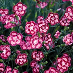 Dianthus 'Cranberry Ice' features bright red flowers with pink markings