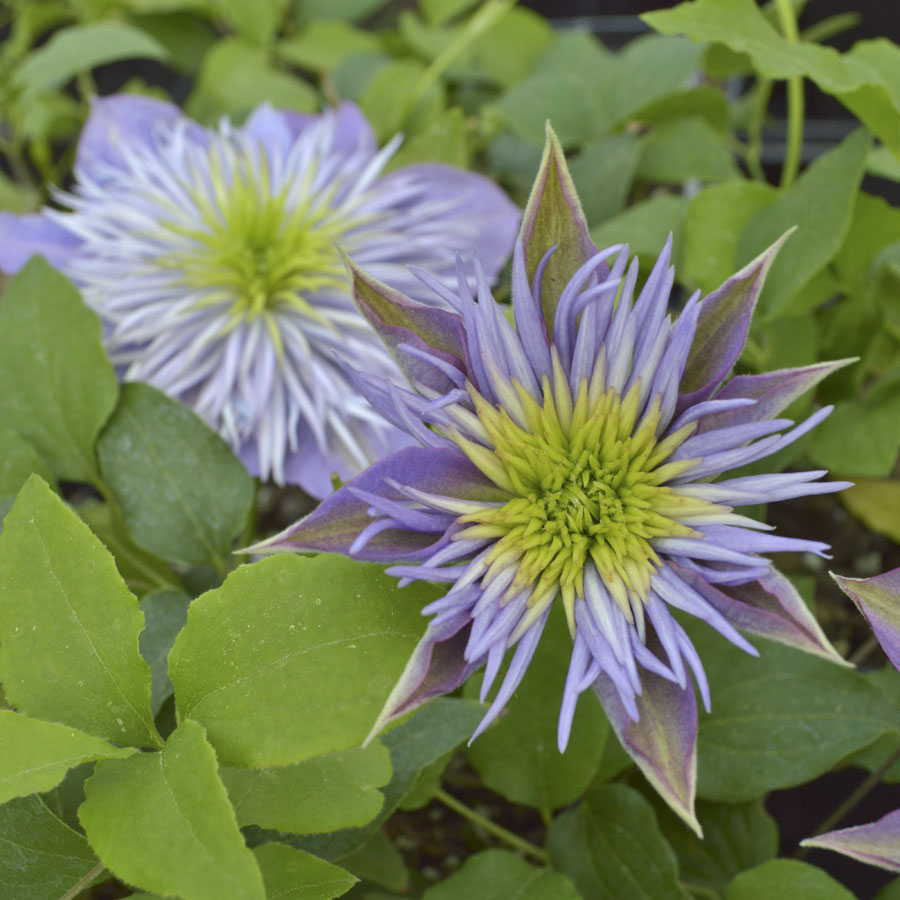 Clematis Vines For Every Gardener Official Blog Of Park Seed
